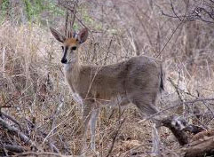 Commonduiker