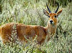 Mountainreedbuck